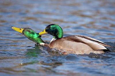 Wild Ducks Photograph - Male Mallards Fighting by Bildagentur-online/mcphoto-rolfes
