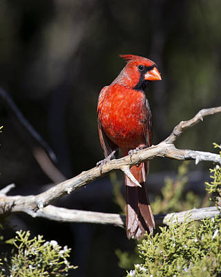 Bunting Photograph - Male Northern Cardinal by Gary Langley