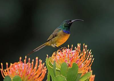 Pincushion Photograph - Male Orange-breasted Sunbir by Tony Camacho