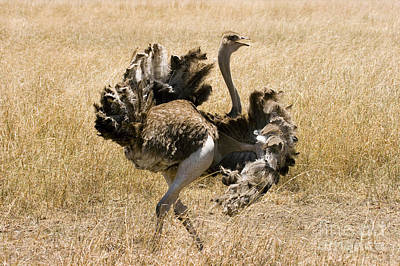 Ostrich Photograph - Male Ostrich Performing Distraction by Gregory G Dimijian MD