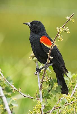Male Red-winged Blackbird Print by Belinda Greb