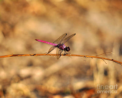 Dragon Fly Photograph - Male Roseate Skimmer by Al Powell Photography USA