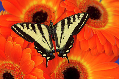 Gerber Daisy Photograph - Male Western Tiger Swallowtail by Darrell Gulin