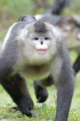 Monkey Photograph - Male Yunnan Snub-nosed Monkey by Tony Camacho