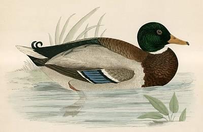Duck Drawing - Mallard by Beverley R Morris