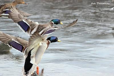 Two Ducks In Flight Photograph - Mallard Double Take Off by Jake Danishevsky