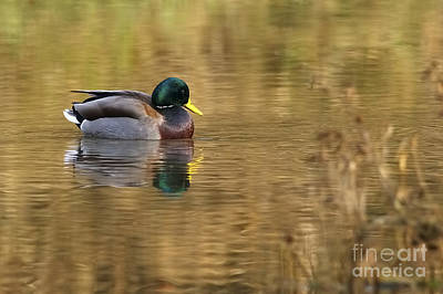 Drake Photograph - Mallard Drake On Golden Pond by Sharon Talson