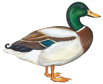 Breed Study Painting - Mallard Duck by Anonymous