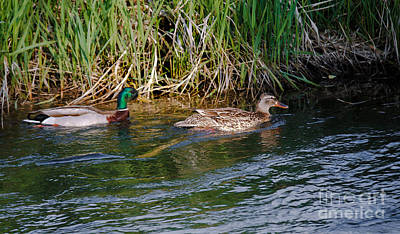 Drake Photograph - Mallard Ducks by Robert Bales