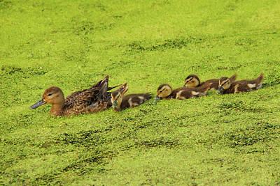Mallard Female And Ducklings In Algae Print by Michel Hersen