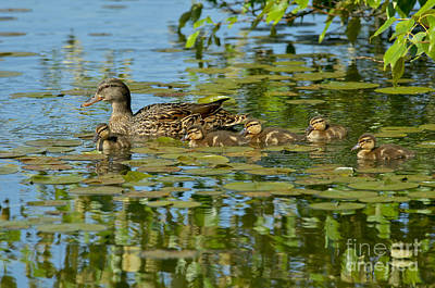 Mallard Mom And The Kids Print by Sharon Talson