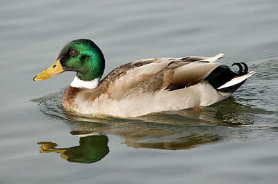 Wild Ducks Photograph - Mallard by Nigel Downer