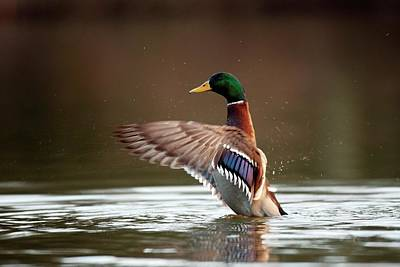 Wild Ducks Photograph - Mallard by Simon Booth