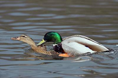 Wild Ducks Photograph - Mallards Mating by Bildagentur-online/mcphoto-rolfes