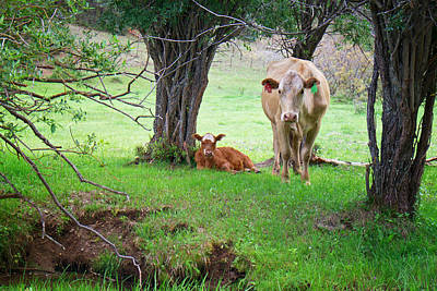 Mama Cow And Calf Print by Mary Lee Dereske