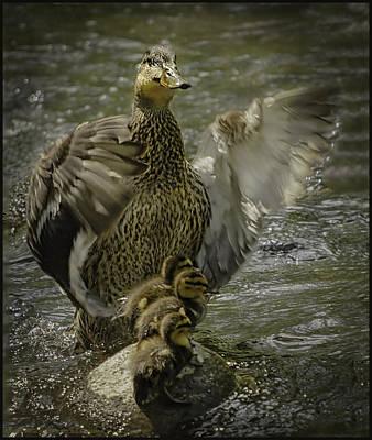 Free Photograph - Mama Duck Protecting Her Babies by LeeAnn McLaneGoetz McLaneGoetzStudioLLCcom