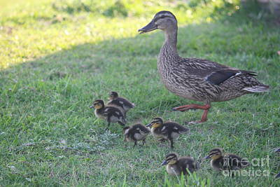 Bird Photograph - Mama Mallard And Babes by Cathy Lindsey