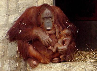 Mama N Baby Orangutan - 54 Print by Gary Gingrich Galleries