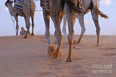 Man With Three Camels By A Sand Dune Print by Sami Sarkis