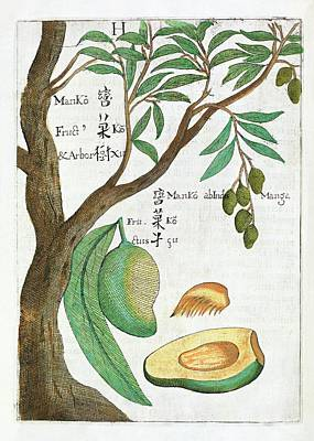 Mango Photograph - Mango Tree And Fruit by Natural History Museum, London