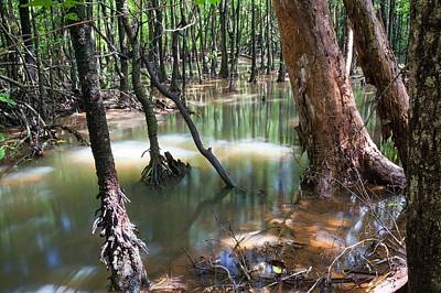 Mangrove Trees Print by Ashley Cooper