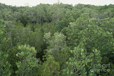 Mangrove Trees Print by Gregory G. Dimijian, M.D.
