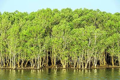 Mangrove Trees Print by Peter Chadwick