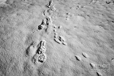 Rabbit Hunting Photograph - mans footprints and rabbit animal prints in the snow Saskatoon Saskatchewan Canada by Joe Fox
