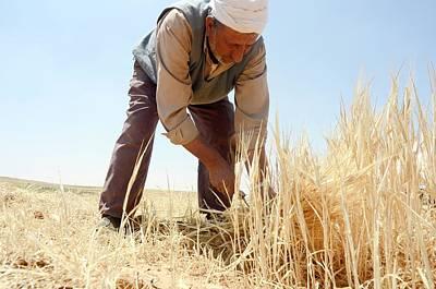 Manual Wheat Harvesting Print by Photostock-israel