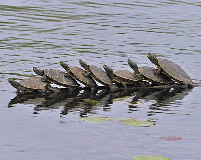 Congas Photograph - Map Turtles by Tony Beck