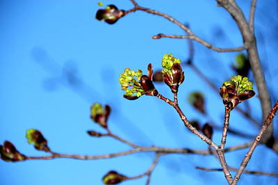Sky Photograph - Maple Buds by Mary Burr