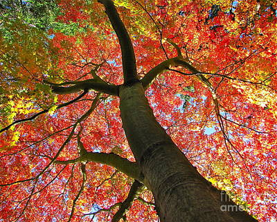 Lightscapes Photograph - Maple In Autumn Glory by Sean Griffin
