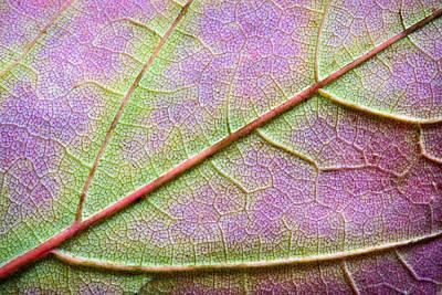 Maple Leaf Photograph - Maple Leaf Macro by Adam Romanowicz