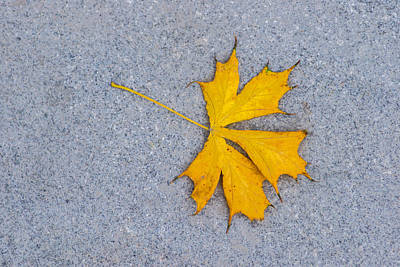 Maple Leaf On Granite 5 Print by Alexander Senin