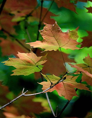 Maple Leaves In The Shadows Print by Rosanne Jordan
