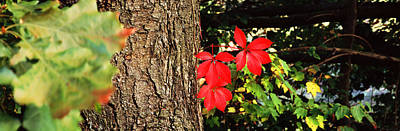 Maple Leaves On Trees, Tolland County Print by Panoramic Images