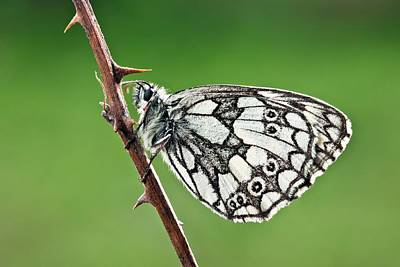 Marbled White Butterfly Print by Alex Hyde