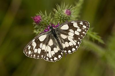Marbled White Butterfly Print by Science Photo Library
