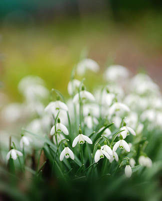 Snowdrop Photograph - Marching Into Spring by Rebecca Cozart