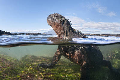 Photograph - Marine Iguana In Water Punta Espinosa by Tui De Roy