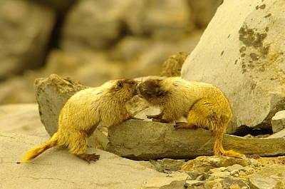 Marmots Kissing Print by Jeff Swan