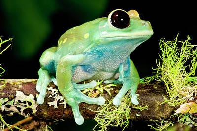 Maroon Big Eye Treefrog, Leptopelis Print by David Northcott