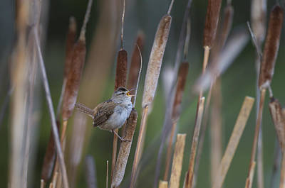 Marsh Wren Singing From A Cattail Print by John Shaw