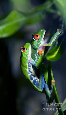 Mating Frogs Print by Brandon Alms