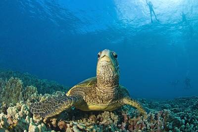 Small Turtle Photograph - Maui Hawaii Usa Green Sea Turtle by Stuart Westmorland