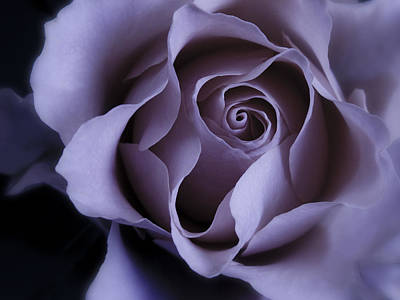 May Dreams Come True - Purple Pink Rose Closeup Flower Photograph Print by Artecco Fine Art Photography