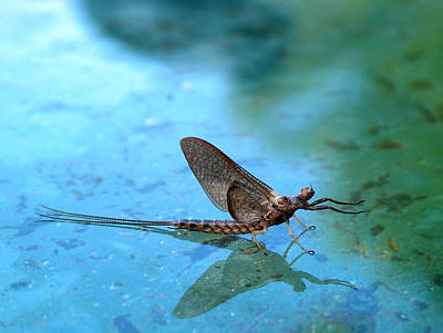 Mayfly Photograph - Mayfly Reflected by Thomas Young