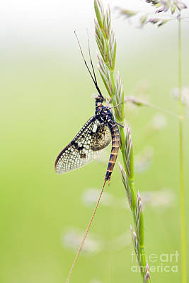 Mayfly Photograph - Mayfly by Tim Gainey