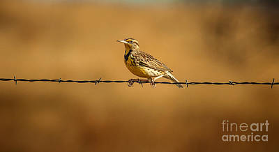 Meadowlark Photograph - Meadowlark And Barbed Wire by Robert Frederick