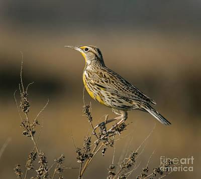 Meadowlark Photograph - Meadowlark On Weed by Robert Frederick